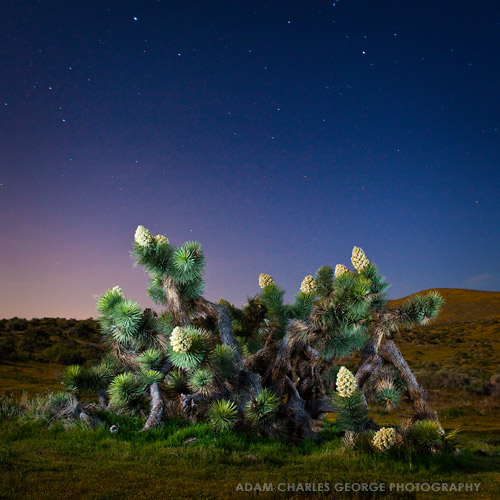Joshua Tree, Lancaster, CA by Adam Charles George Photography