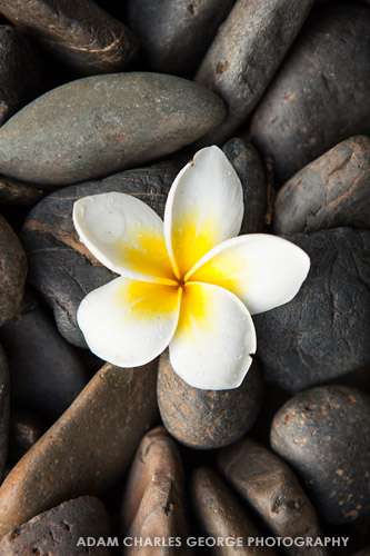 Plumeria, Chiang Mai, Thailand by Adam Charles George Photography